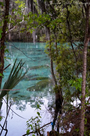 Barely visible through the trees, manatees rest motionlessly in the closed spring at dawn.